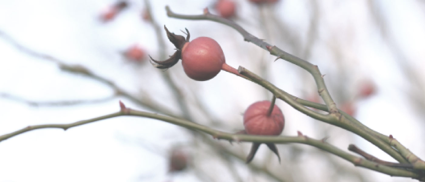 rosehips in winter on bush in snow